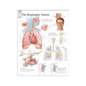 The Respiratory System Chart Laminated